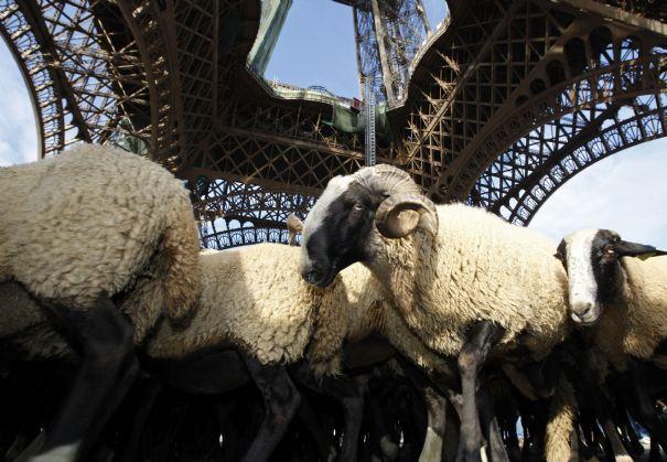 Les moutons d'Ouessant sur le devant de la Seine !