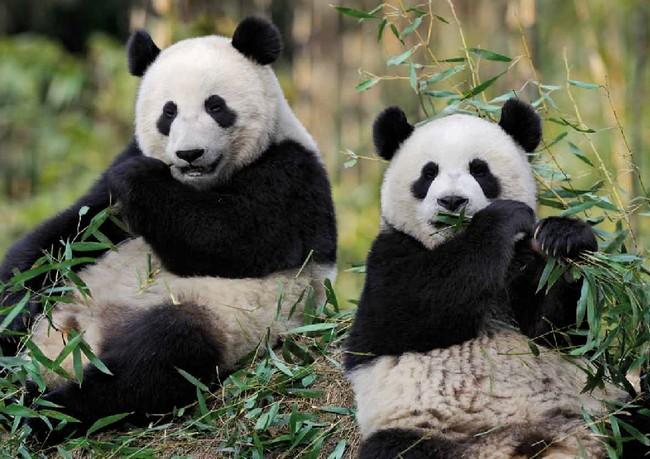 """30 kg de """"carburant"""" par jour grâce aux pandas de Beauval  !"""