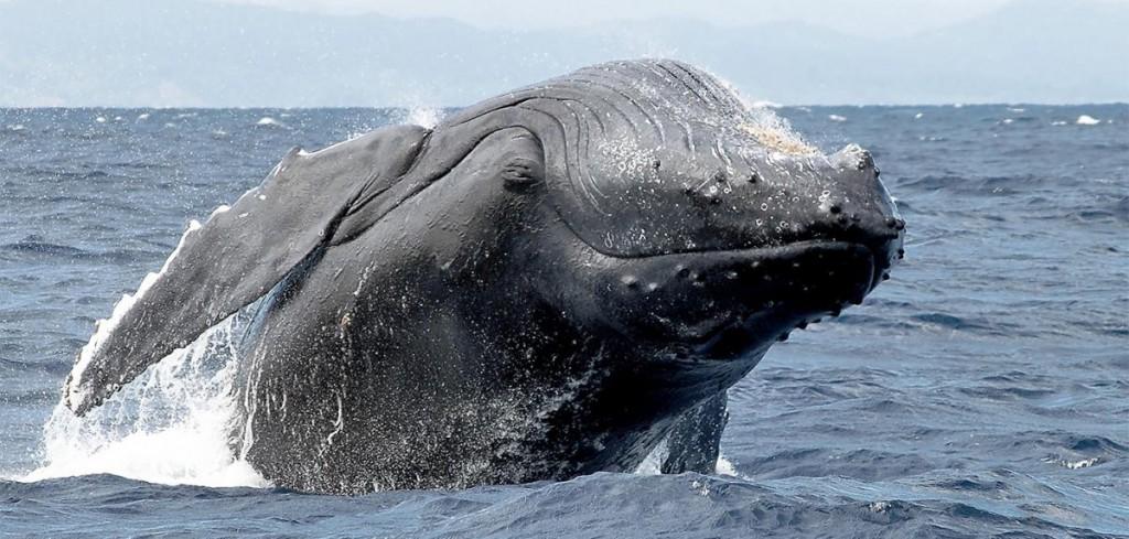 Des baleines pour sauver la planète