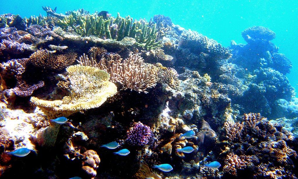 Le corail sauvé par un bidouillage génétique ?