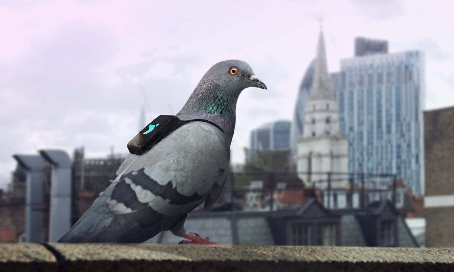 Les pigeons au secours de la qualité de l'air de la capitale anglaise