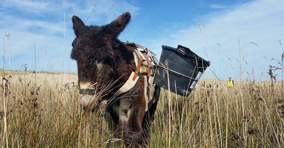 Oléron : les ânes font plage nette