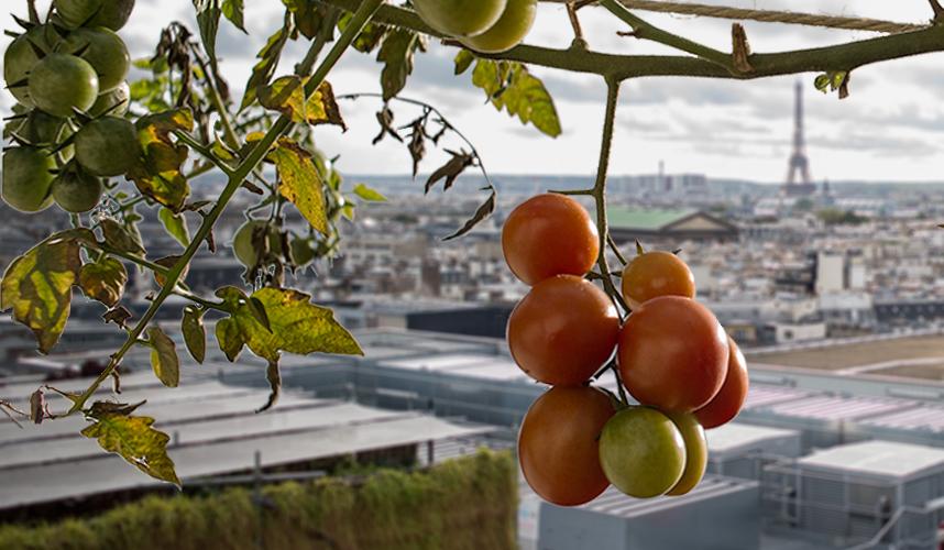 Paris sous les plants de tomates