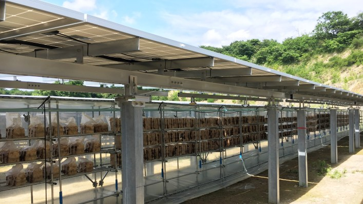 Japon : des champignons sous les panneaux solaires