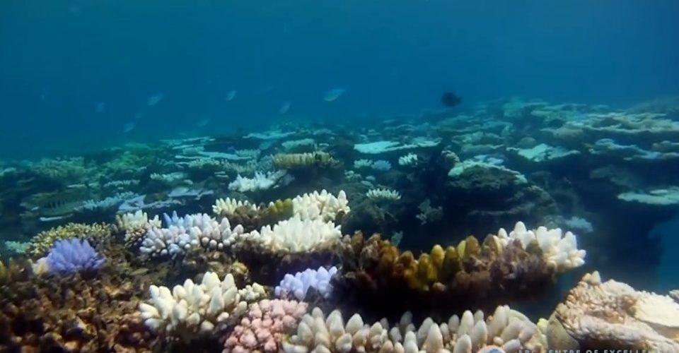 Transplantation réussie… de corail !