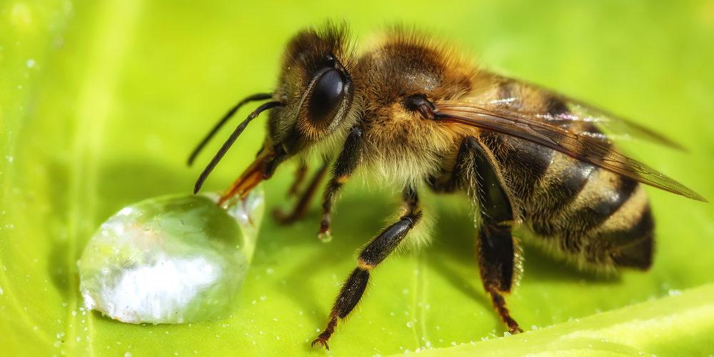 """Un """"vaccin"""" à base de champignon pour les abeilles"""