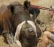Des GPS pour traquer et protéger les rhinocéros