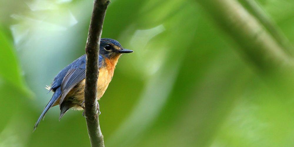 De nouveaux oiseaux chanteurs découverts en Indonésie