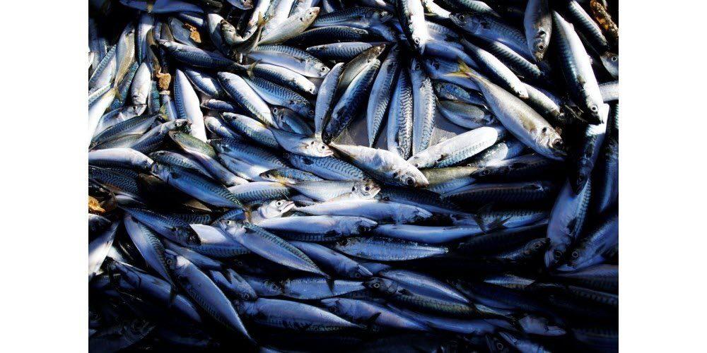 Une caméra intelligente détecte les parasites dans les poissons