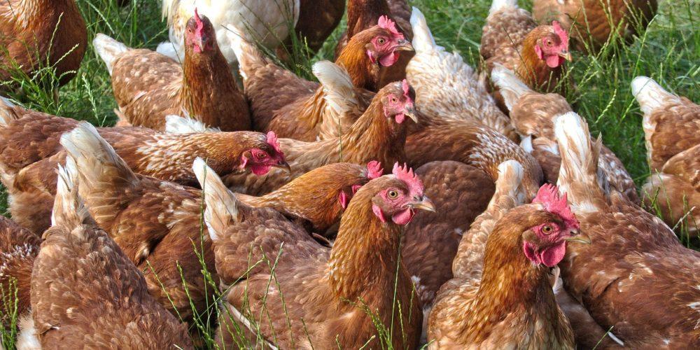 LIDL et LECLERC s'engagent pour améliorer le bien-être des poulets